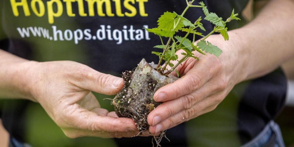 Hoptimist Gärtner Aufzucht Hopfenpflanze